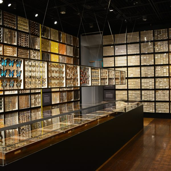 東大博物館で昆虫特別展示「秘蔵の標本4万点」